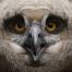 Eagle owl juv 1j
