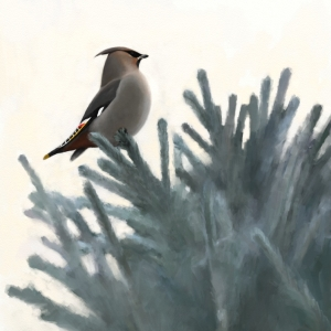 Waxwing in spruce